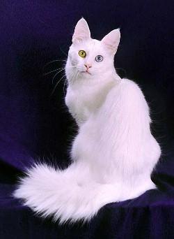 ангорская кошка фото - фотография 1.