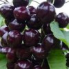 Black Sour Cherry