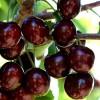 Black Sour Cherry
